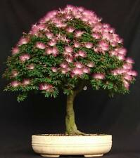 20 Mimosa Persian Silk Tree Seeds - Albizia Julibrissin Bonsai Usa - Bkseeds