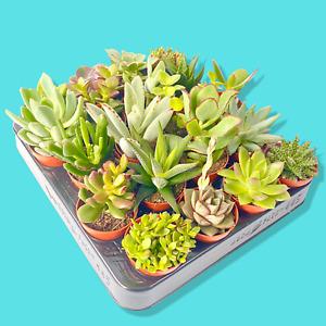 Succulent Plants Indoor Terrariums Wedding Favours Baby Shower Home Decor
