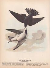 """1942 Vintage AUDUBON BIRDS #100 """"TREE SWALLOW"""" Color Art Plate Lithograph"""