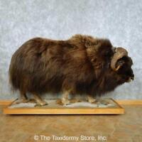 #13461 E | North American Muskox Life-Size Taxidermy Mount