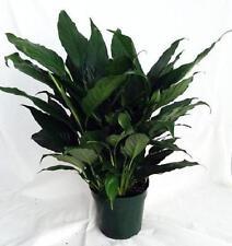 "Spathyphyllium Live Peace Lily Plant HousePlant 4"" Pot Indoor Garden Best Gift"