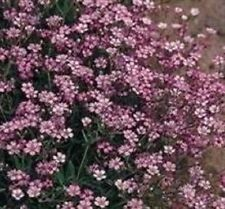 Gypsophila - Repens Rosea - 250 Seeds