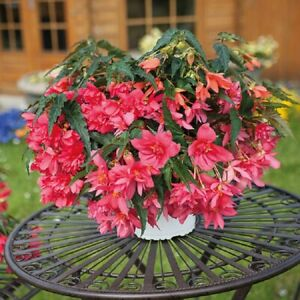 Begonia Seeds Funky Light Pink 15 Pelleted Seed