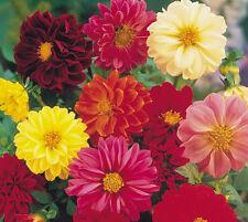 Dahlia Unwin Mix 25 seeds  * Cut Flower * Easy grow  CombSH  A52