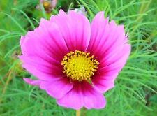 150 Pink Cosmos Radiance Bipinnatus Flower Seeds + Gift