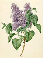 Branch with Purple Lilacs A1+ by Maria Geertruyd Barbier-Snabilie Art Print