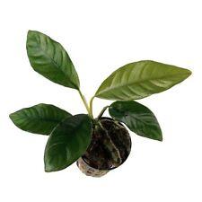 6 x 5 cm Pots of Anubias barteri var. coffeefolia