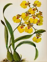 Antique Yellow ORCHID Print Vintage Botanical Flower Print Oncidium Orchid 2838