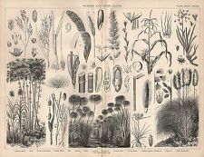 1874 PRINT ~ GRASSES ~ MILLET RYE MAIZE SUGAR CANE PAPYRUS SEA-GRASS