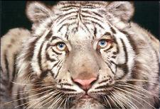 New ListingWhite Tiger Cat Wild Animal Postcard Mint New Condition Ref: Cat50