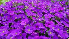 ROCK CRESS Purple 100 seeds GROUND COVER rockery cushion plant creeping Aubretia