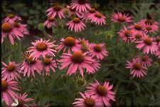 3 Echinacea purpurea Magnus Purple Coneflower Summer flower Bee Butterfly Nectar