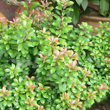 3 X PIERIS /'MOUNTAIN FIRE/' EVERGREEN SHRUB HARDY GARDEN PLANT IN POT