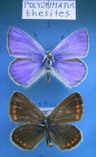 LYCAENIDAE POLYOMMATUS thersites, cpl., ex BUL & GR