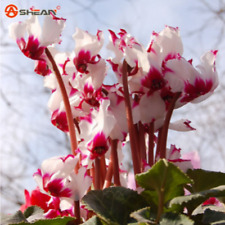 100 Seeds Rare Red White Cyclamen Flower Seeds Potted Balcony Rabbit Flower