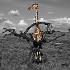 GILLIE AND MARC-direct from the artists-authentic photography print giraffe