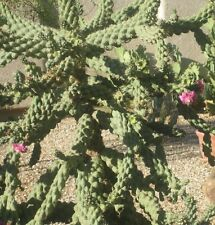 2 FOOT LONG Chain Fruit Cholla Cactus fresh cutting (Cylindropuntia fulgida)