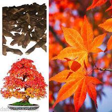 Colorful Canadian Maple Tree Seeds Mini Bonsai Plants seed Acer Palatum 10 Seeds