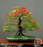 50 PCS Seeds Canada Mini Red Maple Bonsai Garden Tree Plants Free Shipping 2019