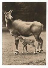 25/549 AK animali antilopi Nilgau-ANTILOPE con cuccioli-SCRITTE -