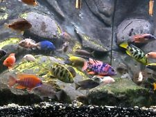 "SALE! (16) ASSORTED AFRICAN CICHLIDS-WITH 2  BRISTLENOSE PLECO 1"" CLEANER FISH!!"