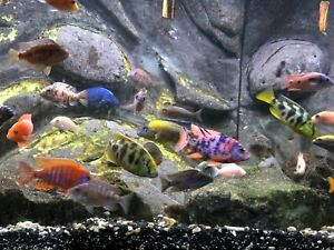 """10 pack ASSORTED AFRICAN CICHLIDS (unsexed) 1/2-3/4"""" Juveniles + 1 month feed!!!"""
