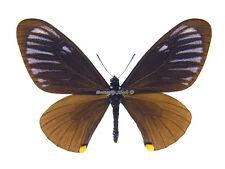 Unmounted Butterfly/Papilionidae - Papilio (Chilasa) slateri slateri, male