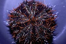 """AQM"" Halloween Urchin, Conch snails ,crabs ,snails , Live Coral"