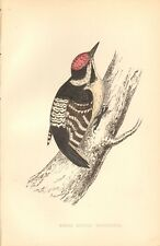 1865 ca - ANTIQUE ORNITHOLOGICAL PRINT- LESSER SPOTTED WOODPECKER
