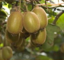 Kiwis Hayward, Kiwifruits -30 Seeds- Delicious Healthy Fruits in Your Gardens