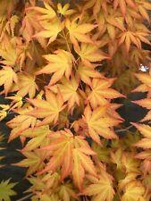 Japanese Maple Akane