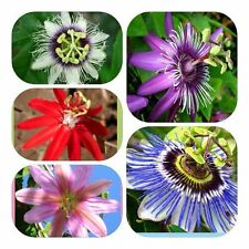 20pcs Rare flower plant Passiflora seeds Passionflower Fruit tree Garden.