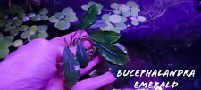 Bucephalandra Emerald rare 5cm rhizome