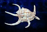 "8 to 10"" LAMBIS  CHIRAGRA SPIDER SEA SHELL NAUTICAL BEACH DECOR TROPICAL"