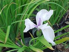 Iris blanc laevigata snowdrift plante bassin vivace