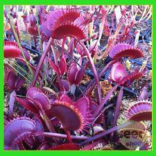 2017 Hot Rare - 100 pcs Venus Flytrap Seeds Dionaea Muscipula Carnivorous