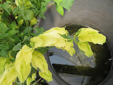 Yellow Shrimp plant 2 rootless cuttings, nice house plant