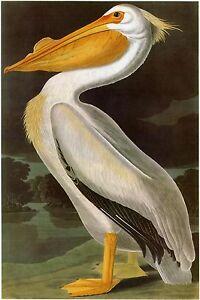 Audubon Reproductions: Birds of America - American Pelican - Fine Art Print