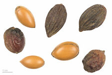 Argania spinosa - The Argan Nut Tree - 5 Seeds