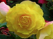 Flower seeds.Begonia Terry Yellow. Perennial