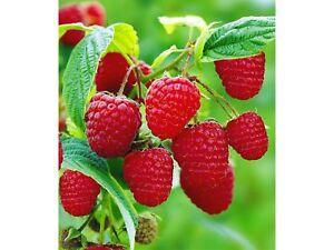 E4D9 Garten Obst Köstlich Und Anlage 50 samen Riesige Rote Himbeere Samen