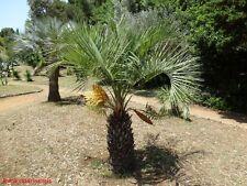10x Palmen Samen Butia catarinensis (Südliche Geleepalme) Winterhart -12°C