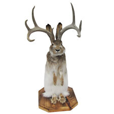 100% Genuine Taxidermy Life Size Jackalope Mount Real Authentic Pointed Antlers