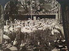 Royal Red Flamingoes in Garden Maharaja's Aviary Jaipur India 1907 HC White RPSV