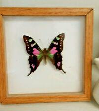 Butterfly in Shadow Box  Original Graphium Weiski,   Vintage Real