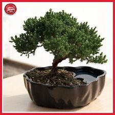 Zen Juniper Bonsai Tree Little Garden Live Japanese Pot Indoor Decoration Desk