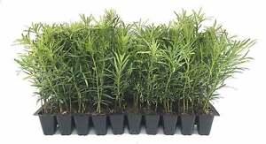 Podocarpus Macrophyllus - Live Plants - Evergreen Cold Hardy Privacy Shrub