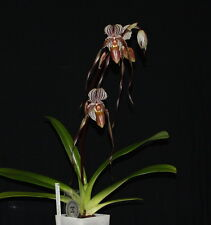 slipper orchid, plant, Paphiopedilum KempTower,  KING EDWARD OF YORK, [sweetie]