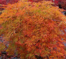 Rare 'Orangeola' Japanese Maple Tree Seeds. Acer palmatum. 25 Seeds.