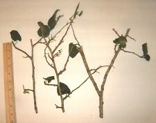 3 Black Mulberry Tree Cuttings Produces Sweet Berry Fruit Louisiana Plant